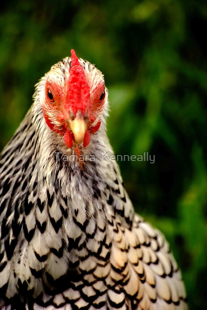 Chicken Stare by Tamara  Kenneally