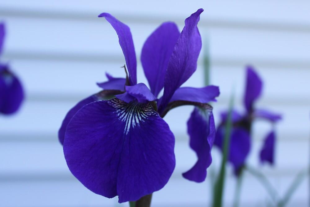 Bearded Iris by NeNe55
