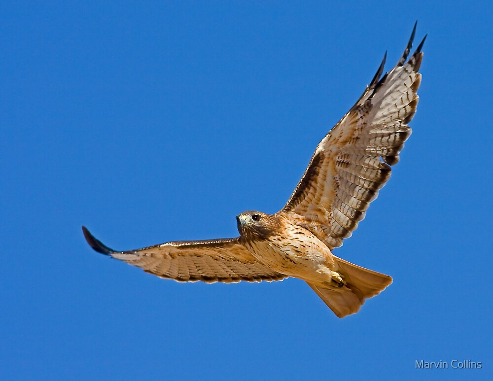 1004093 Red Tailed Hawk by Marvin Collins