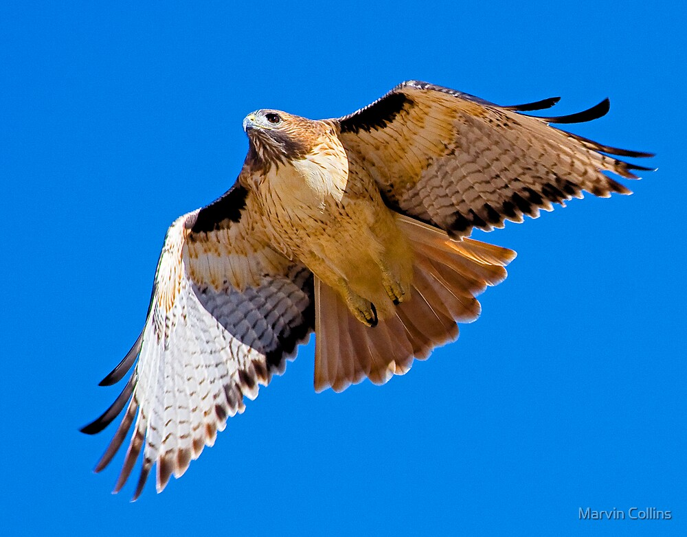 1004094 Red Tailed Hawk by Marvin Collins