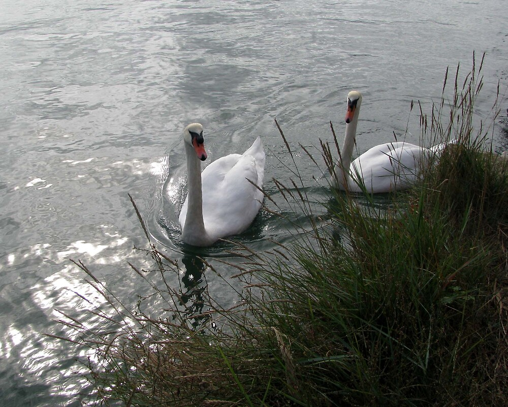 Swans at Langstone by Caroline Anderson