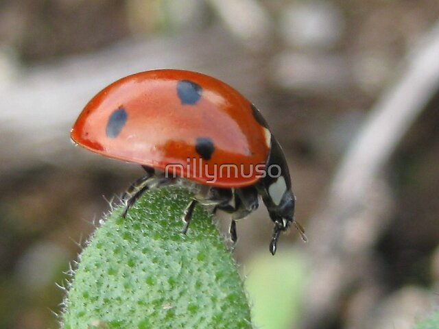 ladybug2 by millymuso