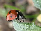 ladybug3 by millymuso