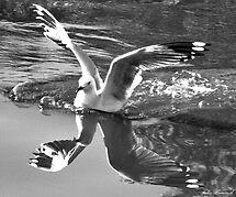 Seagull by Julia Harwood