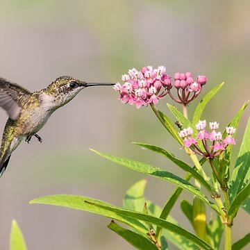 Hummingbird 2018-1 by Thomasyoung