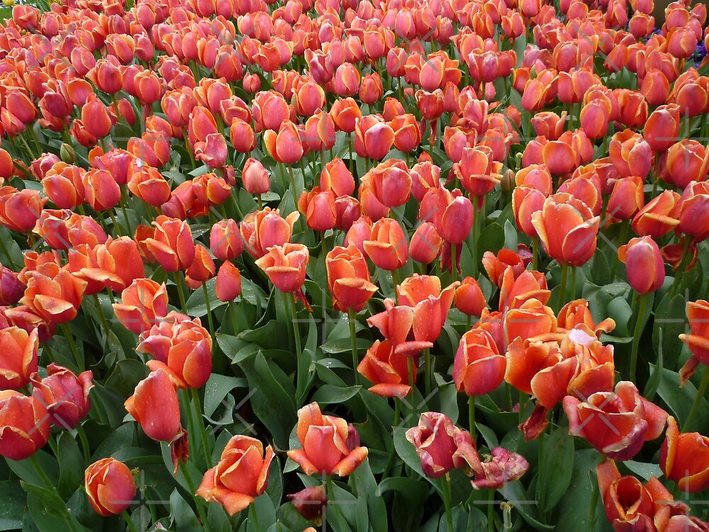 Tulips 1 by Jason Langer