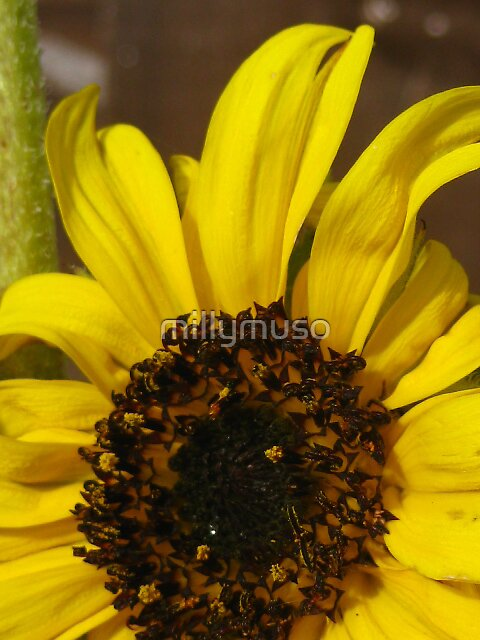 minature sunflower2 by millymuso