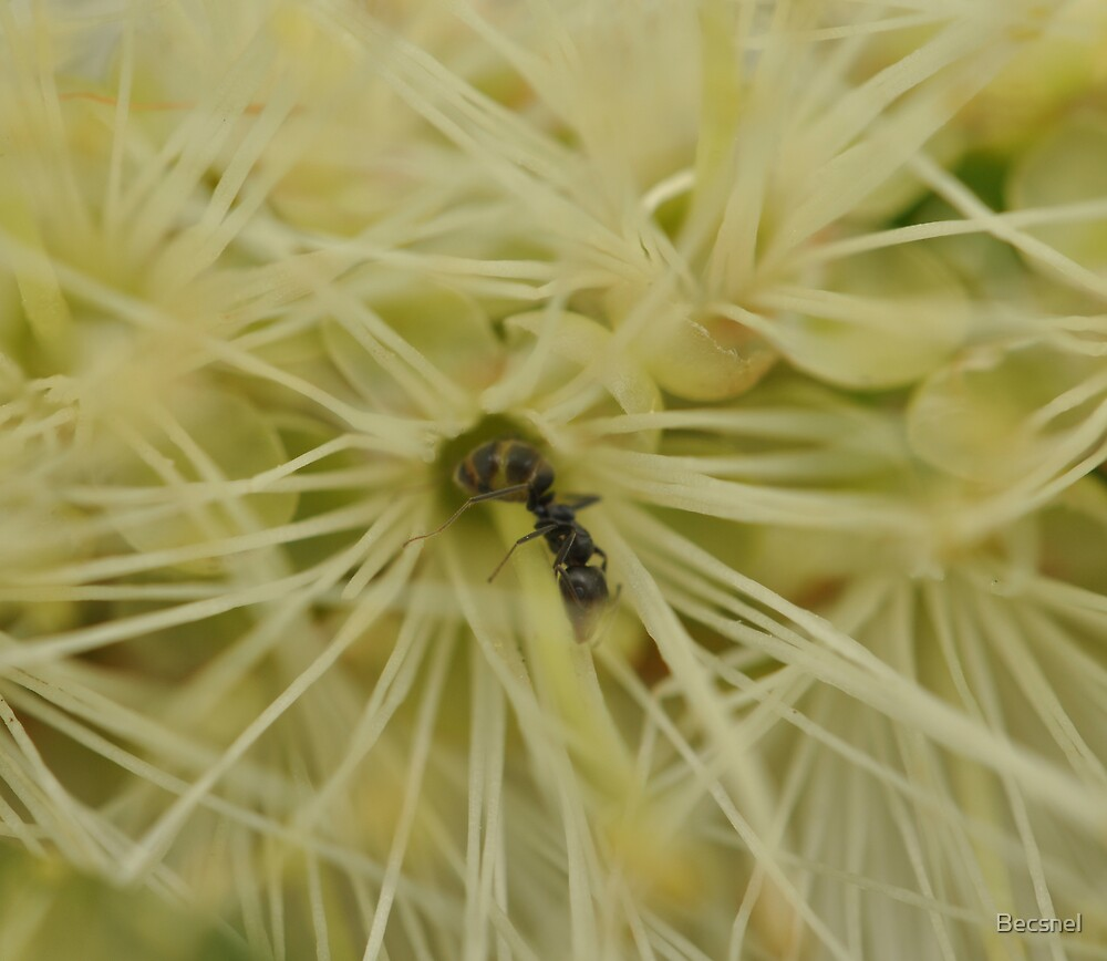 Ant in Acacia by Becsnel