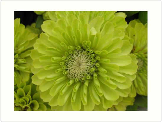 Green Zinnias by ElyseFradkin
