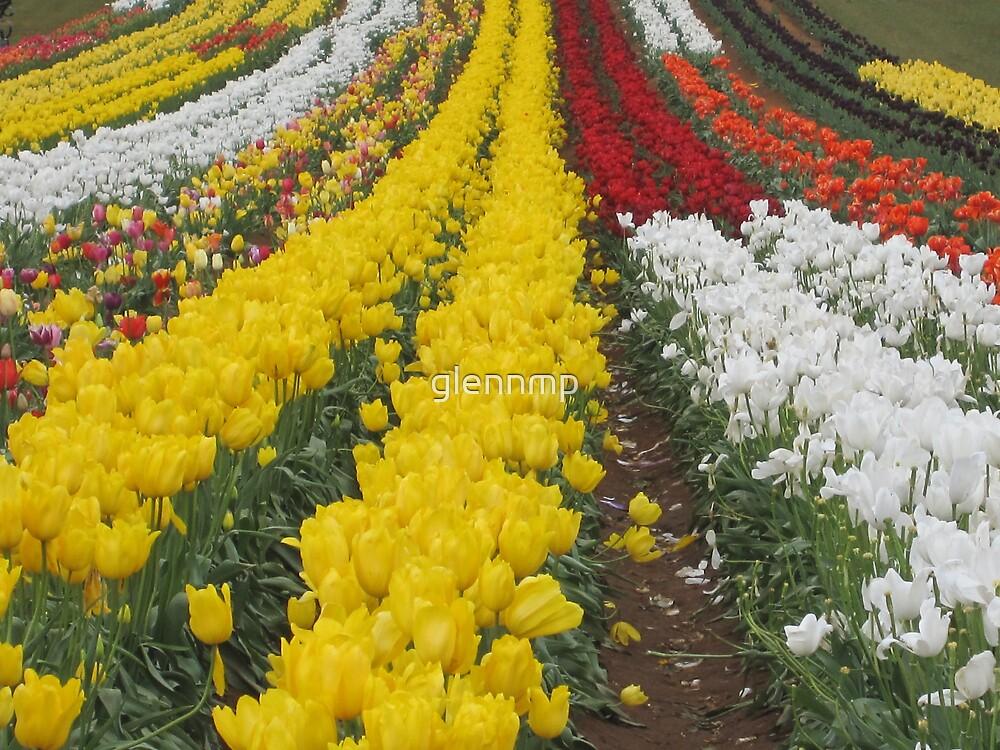 Tulips Tulips Everywhere by glennmp