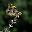 Perched Painted Lady by Colleen Drew