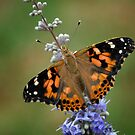 Painted Lady on Lilac by Colleen Drew