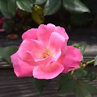 A Pink Rose by Kathleen Brant