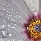 African Daisy by DIANE  FIFIELD