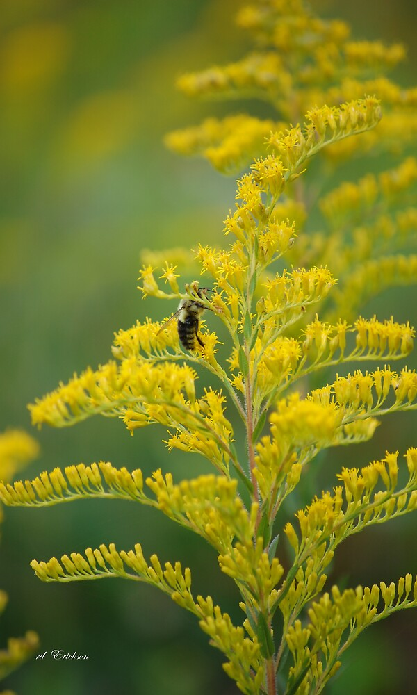 Golden Rod, Solidago fistulosa by rd Erickson