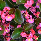""" Pink Begonia's"" by franticflagwave"