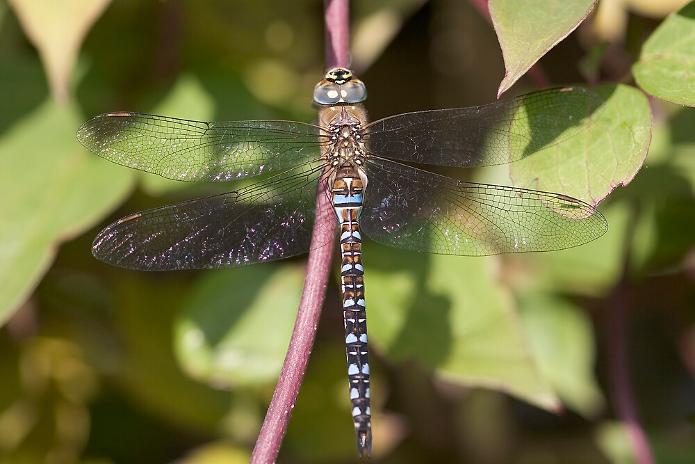 Migrant Hawker by Carole Stevens