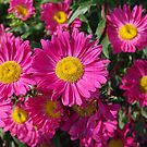 Summer Asters 4636 by rvjames