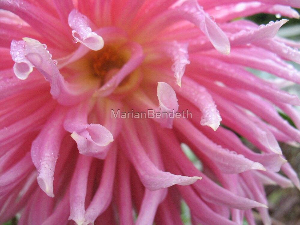 Anenome Pink Dahlia by MarianBendeth