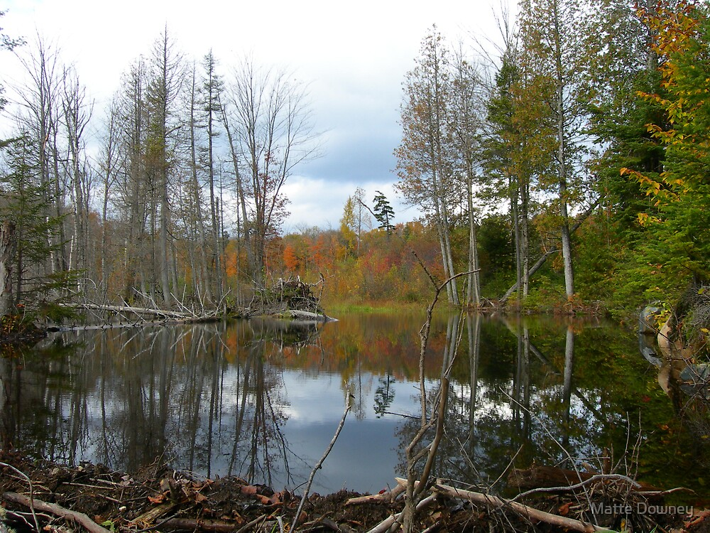 Beaver pond in fall by Matte Downey