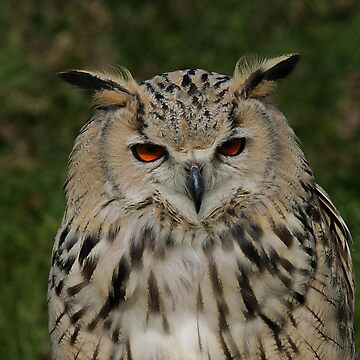 Portrait of a Siberian Eagle Owl by amb1946