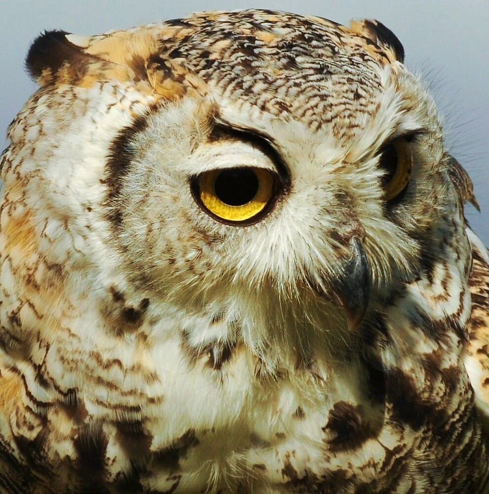 Short eared owl by Alan Mattison