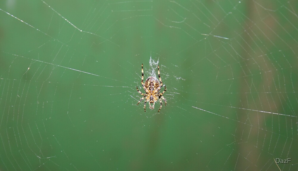 Garden Spider. by DazF