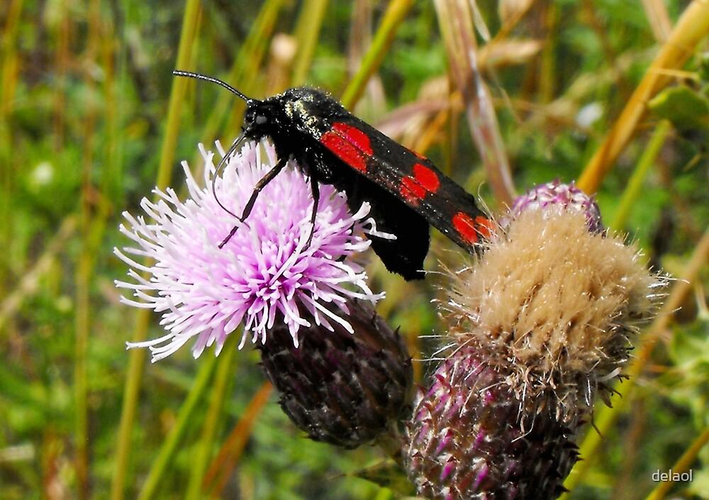 Burnet Moth by delaol