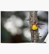 Goldenrod Crab Spider!  Poster