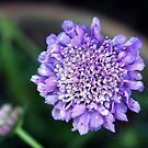 *'BUTTERFLY BLUE' PINCUSHION PLANT* by Van Coleman
