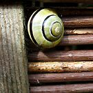 Limey Snail by Orla Cahill Photography