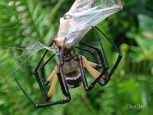 Yellow Garden spider by ClintDMc