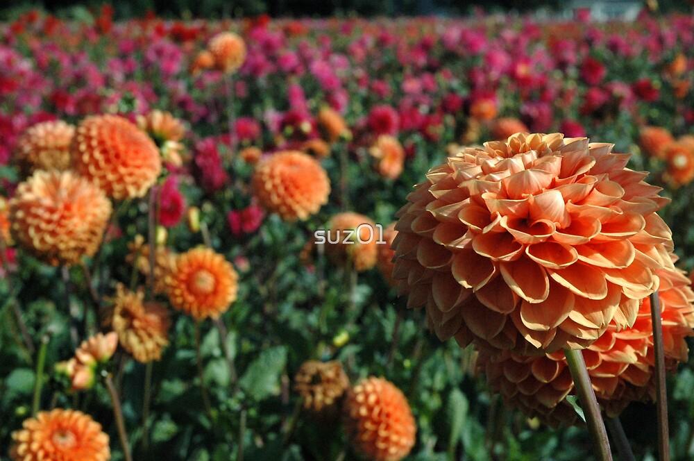 Orange Dahlia by suz01