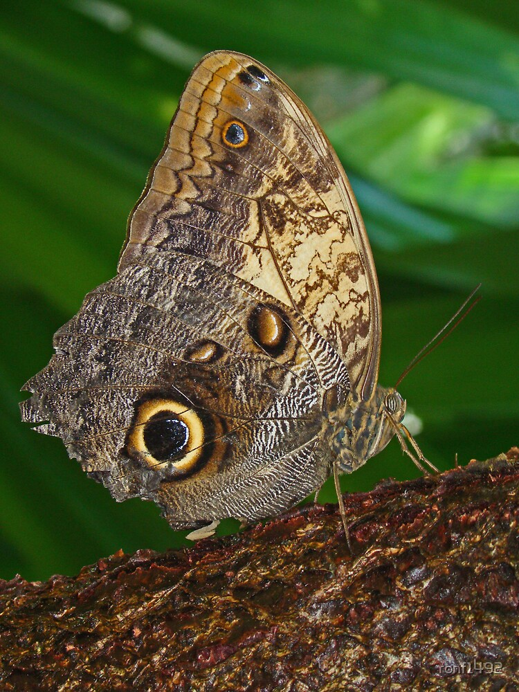 Owl Butterfly by ronf1492