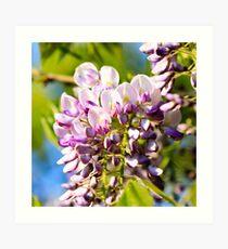 Purple Wisteria flowers Art Print