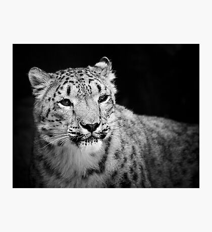Snow Leopard Photographic Print