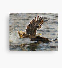 Bald Eagle hunting Canvas Print