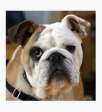 American Bulldog Photographic Print