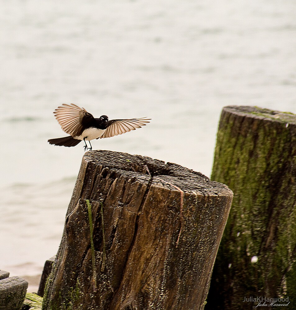 Willy Wagtail by JuliaKHarwood