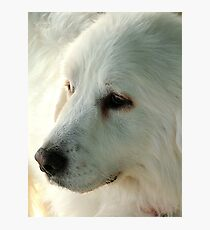 Great Pyrenees Photographic Print