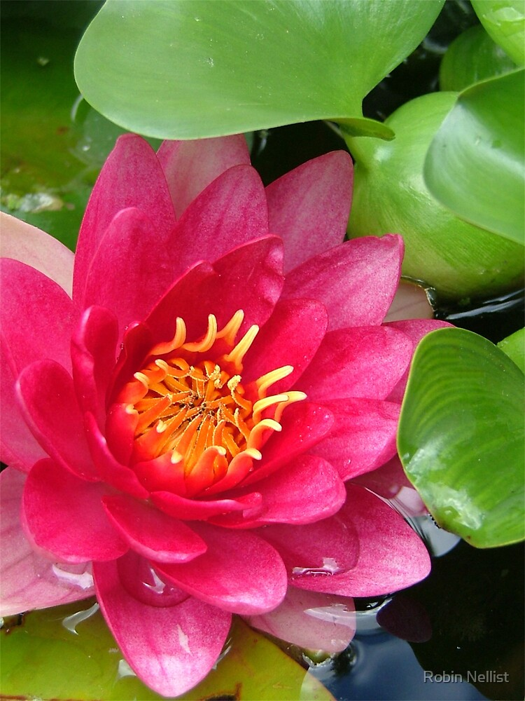 Water lily by Robin Nellist