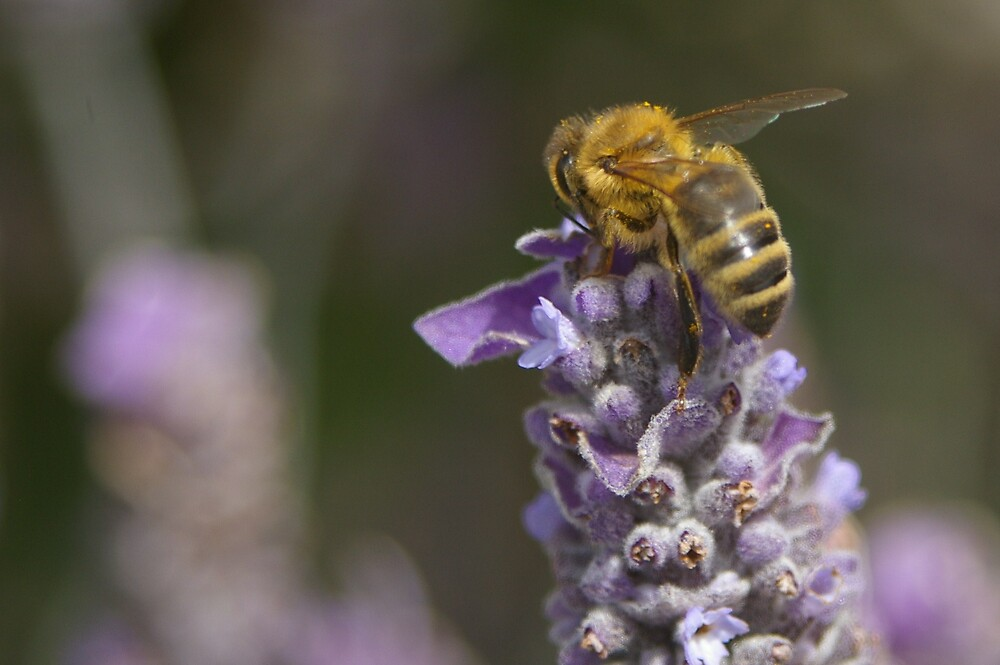 A bee hard at work on the lavender  by janfoster