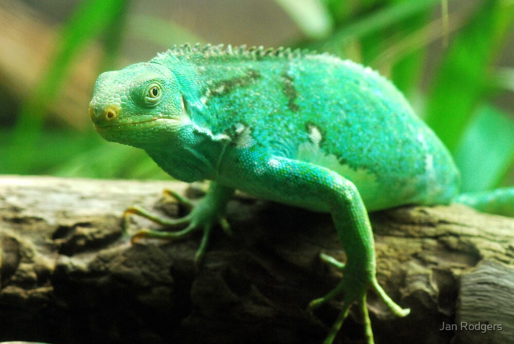 Green chameleon by Janette Rodgers