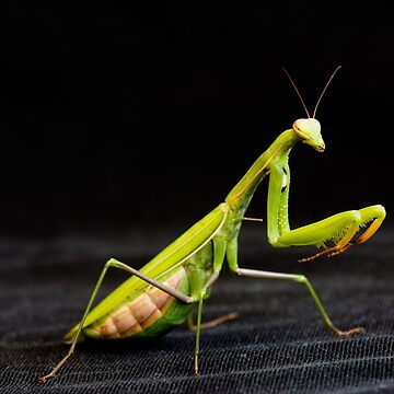 Praying mantis by igorsin