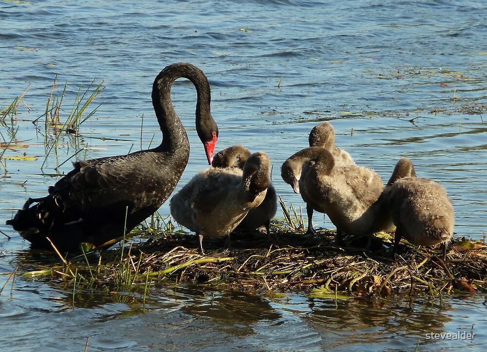 Swan Family by stevealder