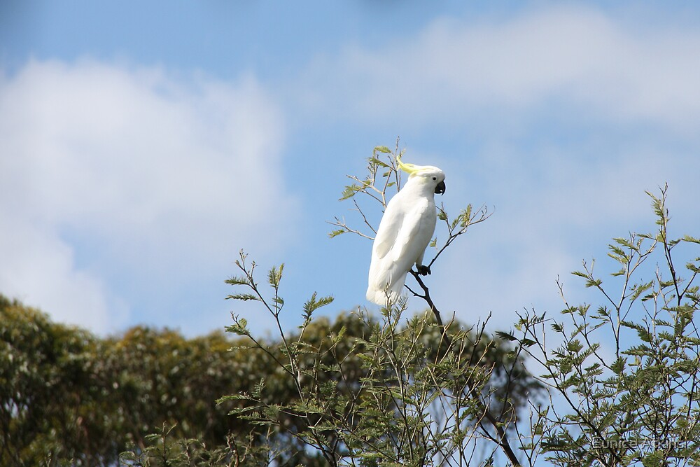 A white cockatoo by Eunice Atkins