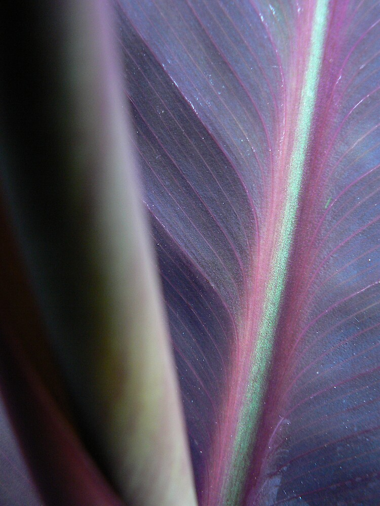 Purple Canna by Framed-Photos