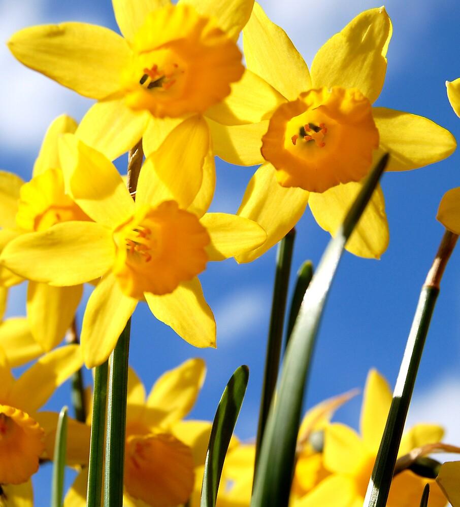 Daffodiles by adele90