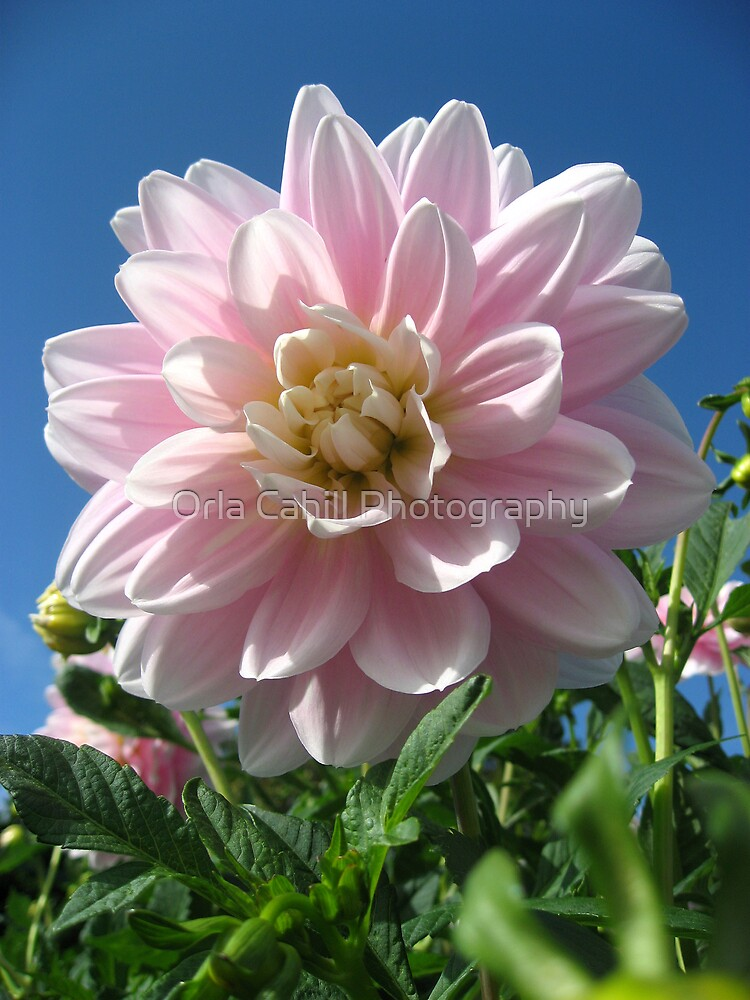 Baby Pink Dahlia no.3 by Orla Cahill Photography