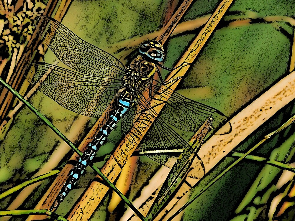 Migrant Hawker Dragonfly by Paul Ritchie